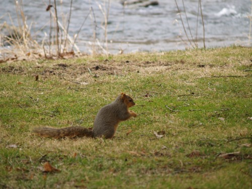 Squirrel at Bellefonte. TS