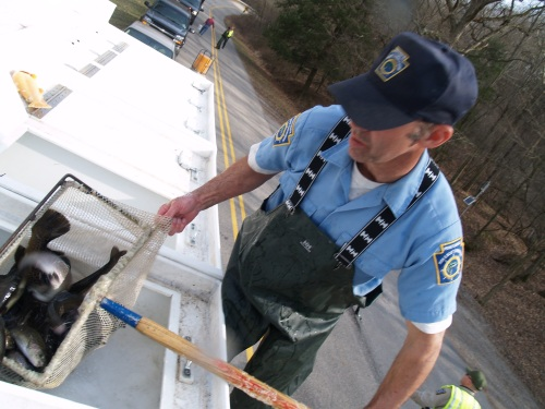 A Pennsylvania Fish Commission stocking official unloads trout at a Beaver County stream.