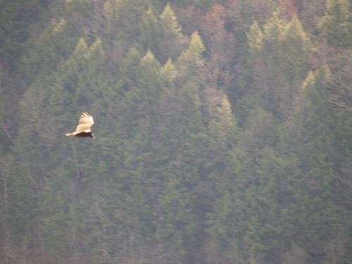 Vulture in flight atop Pine Creek Gorge. TS